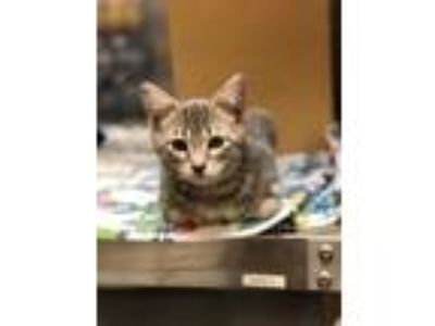 Adopt Walker Texas Ranger a Gray or Blue Domestic Shorthair / Mixed cat in