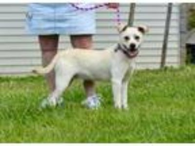 Adopt Collin a Pug, Labrador Retriever