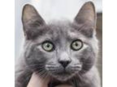 Adopt Angela a Gray or Blue Domestic Shorthair cat in Middletown, RI (25832615)