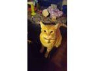 Adopt Orion a Orange or Red American Shorthair / Mixed cat in Valparaiso