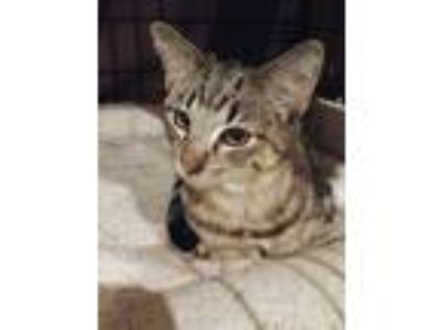 Adopt Bender- FOSTER NEEDED! a Brown Tabby Domestic Shorthair / Mixed (short