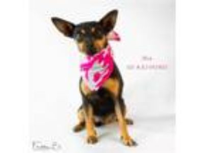 Adopt Dog a Black - with Tan, Yellow or Fawn Miniature Pinscher / Mixed dog in