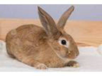 Adopt Scarlett O'Hare-ah a American / Mixed (short coat) rabbit in Pflugerville