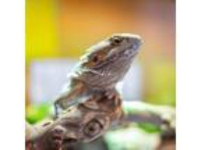 Adopt Sho Nuff a Lizard / Mixed reptile, amphibian, and/or fish in Washington