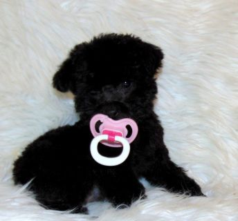 Tiny toy female Poodle