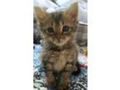 Adopt JORDAN a Brown or Chocolate (Mostly) Domestic Shorthair / Mixed (short