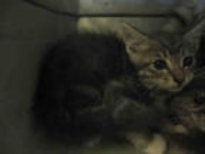 Adopt HOUDINI a Gray, Blue or Silver Tabby Domestic Shorthair / Mixed (short