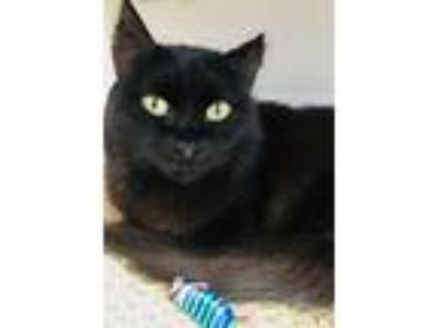 Adopt Bernette a Domestic Mediumhair / Mixed (short coat) cat in Ft.