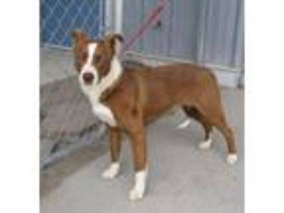 Adopt 41686420 a Border Collie