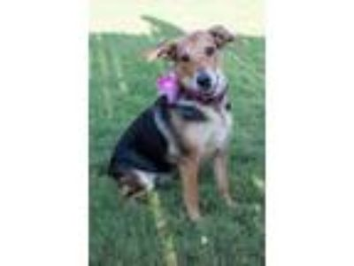 Adopt Annabelle a Tricolor (Tan/Brown & Black & White) Beagle / Mixed Breed