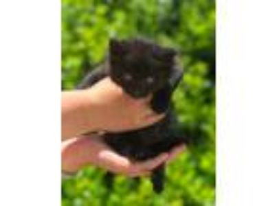Adopt Knight a All Black Domestic Shorthair / Domestic Shorthair / Mixed cat in