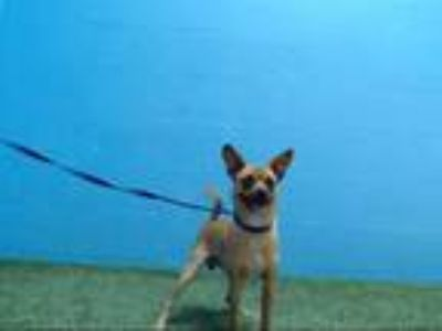 Adopt BUDDY a Tan/Yellow/Fawn - with White Miniature Pinscher / Mixed dog in