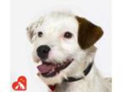 Adopt Toby a White Jack Russell Terrier / Mixed dog in Santa Maria