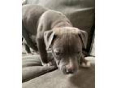 Adopt Tonks a Gray/Blue/Silver/Salt & Pepper Pit Bull Terrier / Mixed dog in