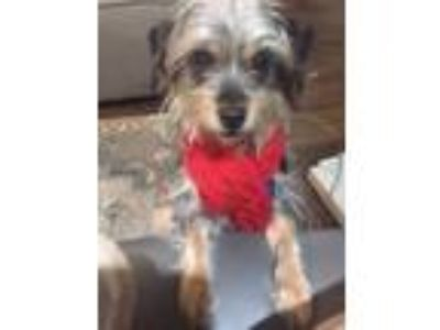 Adopt Buttercup a Yorkshire Terrier
