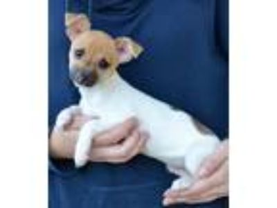 Adopt Peanut a White - with Tan, Yellow or Fawn Rat Terrier / Mixed dog in Simi