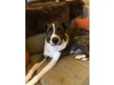 Adopt Bosco a Brindle - with White Boxer / St. Bernard dog in Woodstock