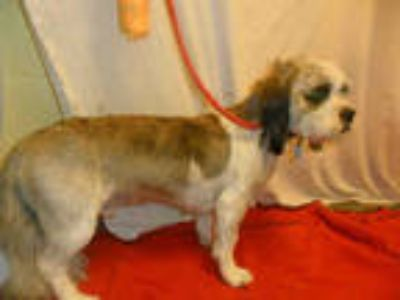 Adopt BOSS a Brown/Chocolate - with White Cavalier King Charles Spaniel / Shih