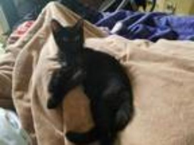 Adopt Kiss a All Black Domestic Shorthair / Mixed (short coat) cat in Mission