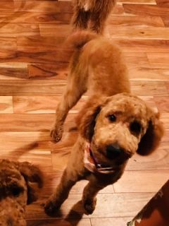 Poodle (Standard) PUPPY FOR SALE ADN-52875 - Gorgeous Red Standard Poodle Female Puppy