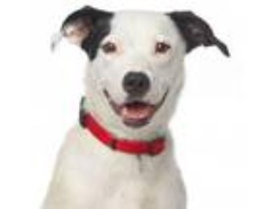 Adopt Twizzler a Border Collie