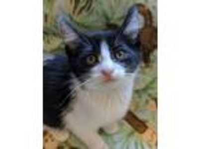 Adopt Thump a Domestic Short Hair