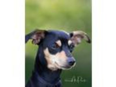 Adopt Henry a Black - with Tan, Yellow or Fawn Dachshund / Miniature Pinscher /
