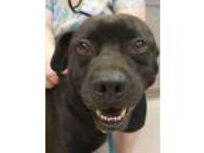 Adopt Bam-Bam a Black Labrador Retriever, Mixed Breed