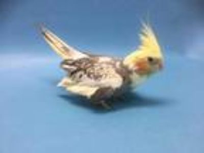 Adopt Pika a Yellow Cockatiel / Mixed bird in Coon Rapids, MN (25264733)