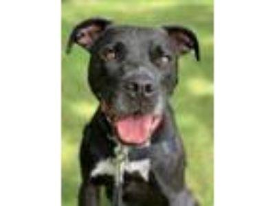 Adopt Rebel a Black American Staffordshire Terrier / Labrador Retriever / Mixed