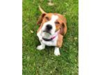 Adopt Lorelai a Red/Golden/Orange/Chestnut - with White Basset Hound / Mixed dog