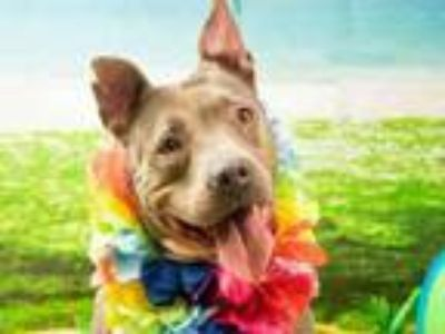 Adopt ASIA a American Staffordshire Terrier