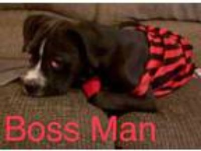 Adopt Boss Man a Black Boxer / Mixed dog in Justin, TX (25047803)