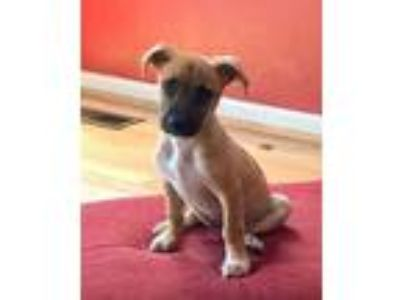 Adopt Wesley a Tan/Yellow/Fawn Hound (Unknown Type) / Shepherd (Unknown Type) /