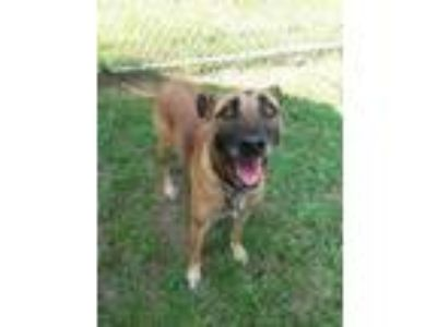 Adopt Pebbles a Brown/Chocolate Shepherd (Unknown Type) / Mixed dog in