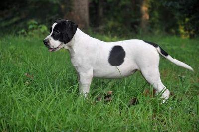 Alapaha Blue Blood Bulldog PUPPY FOR SALE ADN-84669 - Alapaha Blue Blood Bulldog