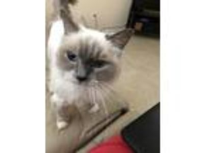 Adopt Lily a Cream or Ivory Ragdoll cat in Windermere, FL (25581732)