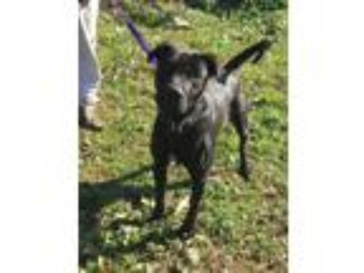 Adopt Tucker a Black Labrador Retriever dog in Norristown, PA (25608811)