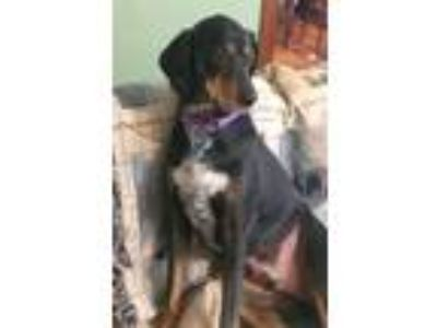 Adopt Kelso a Black - with Tan, Yellow or Fawn Hound (Unknown Type) / Mixed dog