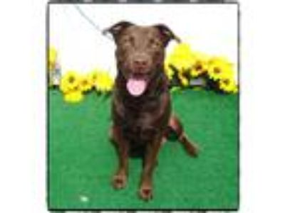 Adopt WESLEY a Brown/Chocolate Labrador Retriever / Mixed dog in Marietta