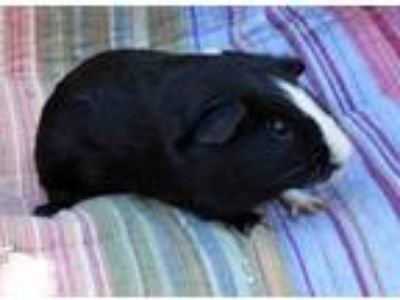 Adopt Radgrid (living with other Oregon Trail males) a Black Guinea Pig small