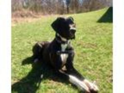 Adopt ADOPTION PENDING Daisy a Black - with White Great Dane / Mixed dog in