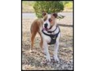 Adopt Hazel a Tan/Yellow/Fawn American Pit Bull Terrier / Mixed dog in