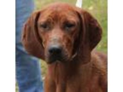 Adopt Avion a Redbone Coonhound