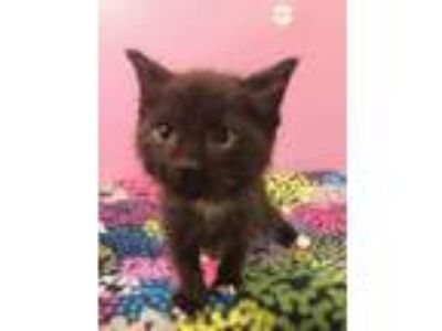 Adopt Jinx a All Black Domestic Mediumhair / Domestic Shorthair / Mixed cat in