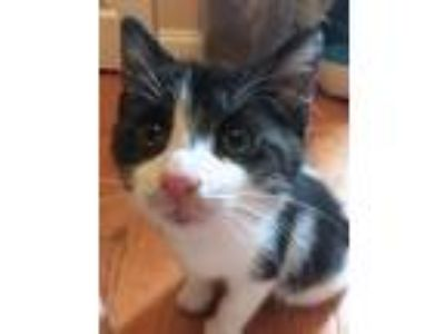 Adopt Lincoln a Black & White or Tuxedo Domestic Shorthair / Mixed (short coat)