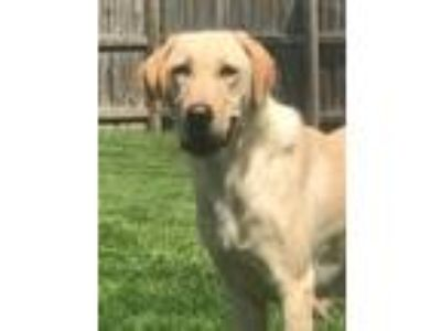 Lab Puppy - Stevens Point Classifieds - Claz org