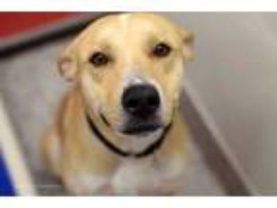Adopt CLIFF* a Tan/Yellow/Fawn - with White Labrador Retriever / Mixed dog in