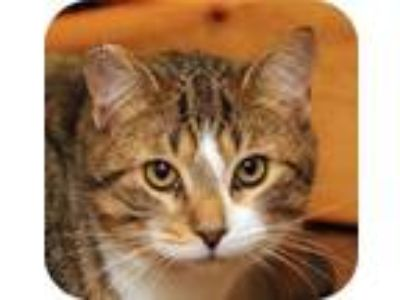 Adopt Henry 25954-c a Brown or Chocolate Domestic Shorthair / Domestic Shorthair