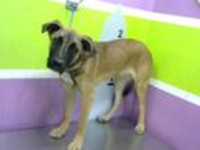 Adopt LUCKY a Brown/Chocolate - with Black German Shepherd Dog / Mixed dog in